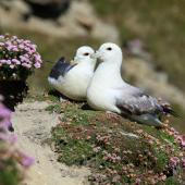 Northern fulmar. Pale morph adults courting (North Atlantic subspecies). Sumburgh Head, Shetland Islands, June 2018. Image © John Fennell by John Fennell