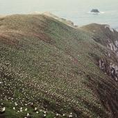White-capped mollymawk. Breeding colony . Disappointment Island, Auckland Islands, February 1973. Image © Department of Conservation (image ref: 10033156) by Rodney Ross Department of Conservation  Courtesy of Department of Conservation