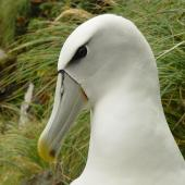 White-capped mollymawk. Close view of adult head in natural light. South West Cape, Auckland Island, February 2006. Image © Graeme Taylor by Graeme Taylor