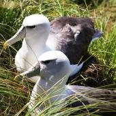 White-capped mollymawk. Pair of adults at nest site. South West Cape, Auckland Islands, January 2007. Image © Ian Armitage by Ian Armitage