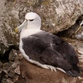 White-capped mollymawk. Adult on nest. Forty Fours,  Chatham Islands, December 2009. Image © Mark Fraser by Mark Fraser