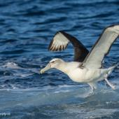 White-capped mollymawk. Adult ssp cauta taking off from the water. At sea off Kiama, New South Wales,  Australia, April 2019. Image © Lindsay Hansch by Lindsay Hansch www.lindsayhanschphotography.com