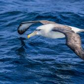 White-capped mollymawk. Adult, spp steadi. Auckland Islands, January 2018. Image © Mark Lethlean by Mark Lethlean