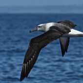 White-capped mollymawk. Immature bird in flight showing dorsal view. Whangaroa pelagic chum spot. Image © Les Feasey by Les Feasey