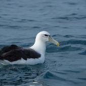 White-capped mollymawk. Adult at sea. Outer Hawke Bay, June 2016. Image © Les Feasey by Les Feasey