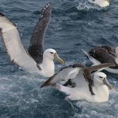 White-capped mollymawk. Adult of nominate species (left) with two local steadi (right). Cook Strait, May 2016. Image © Geoff de Lisle by Geoff de Lisle