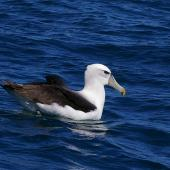 White-capped mollymawk. Subadult on water. Kaikoura pelagic, January 2013. Image © Colin Miskelly by Colin Miskelly