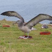 Chatham Island mollymawk. Translocated fledgling exercising wings. Chatham Island near Taiko camp, April 2014. Image © Nikki McArthur by Nikki McArthur