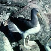 Chatham Island mollymawk. Adult. Rima Islet, Western Chain, Snares Islands, February 1984. Image © Colin Miskelly by Colin Miskelly