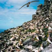 Chatham Island mollymawk. Adult in flight over breeding colony. The Pyramid, Chatham Islands, December 2001. Image © Paul Scofield by Paul Scofield