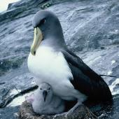 Chatham Island mollymawk. Adult brooding downy chick. The Pyramid, December 1987. Image © Alan Tennyson by Alan Tennyson