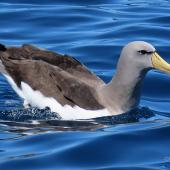 Chatham Island mollymawk. Adult on water. Tutukaka Pelagic out past Poor Knights Islands, October 2020. Image © Scott Brooks (ourspot) by Scott Brooks
