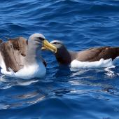 Chatham Island mollymawk. Two adults mutual allopreening on water. Tutukaka Pelagic out past Poor Knights Islands, October 2020. Image © Scott Brooks (ourspot) by Scott Brooks