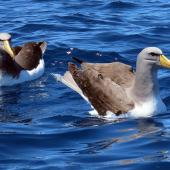 Chatham Island mollymawk. Two adults on water. Tutukaka Pelagic out past Poor Knights Islands, October 2020. Image © Scott Brooks (ourspot) by Scott Brooks