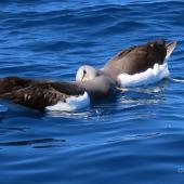 Chatham Island mollymawk. Two adults mutual allopreening on water. Tutukaka Pelagic out past Poor Knights Islands, September 2020. Image © Scott Brooks (ourspot) by Scott Brooks
