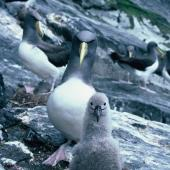 Chatham Island mollymawk. Adult and downy chick. The Pyramid, December 1987. Image © Alan Tennyson by Alan Tennyson