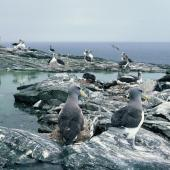 Chatham Island mollymawk. Colony. The Pyramid, Chatham Islands, December 1987. Image © Alan Tennyson by Alan Tennyson