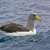 Chatham Island mollymawk. Adult on water. The Pyramid, December 2009. Image © Peter Frost by Peter Frost