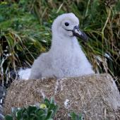 Chatham Island mollymawk. Chick alone on nest (post-guard stage). The Pyramid,  Chatham Islands, December 2009. Image © Mark Fraser by Mark Fraser