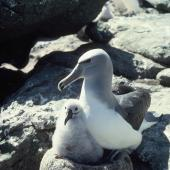 Salvin's mollymawk. Adult guarding chick. Toru Islet, Western Chain, Snares Islands, December 1984. Image © Colin Miskelly by Colin Miskelly