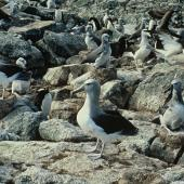 Salvin's mollymawk. Adults nesting and moulting chicks . Bounty Islands. Image © Department of Conservation ( image ref: 10035680 ) by Murray Williams Department of Conservation  Courtesy of Department of Conservation