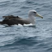 Salvin's mollymawk. Adult in fresh plumage. At sea off Stewart Island, November 2017. Image © Les Feasey by Les Feasey