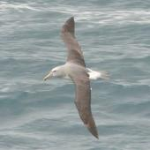 Salvin's mollymawk. Dorsal view of adult in flight. Cook Strait, August 2012. Image © Alan Tennyson by Alan Tennyson