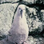 Salvin's mollymawk. Downy chick. Toru Islet, Snares Islands, January 1986. Image © Alan Tennyson by Alan Tennyson