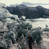 Salvin's mollymawk. Downy chicks on nests. Toru Islet, Snares Islands, January 1986. Image © Alan Tennyson by Alan Tennyson