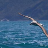 Salvin's mollymawk. Front view of adult in flight. Kaikoura pelagic, November 2011. Image © Sonja Ross by Sonja Ross