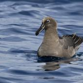 Sooty albatross. Adult on water. Near Ball's Pyramid, Lord Howe Island, June 2018. Image © Jack Shick 2018 birdlifephotography.org.au by Jack Shick