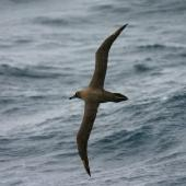 Sooty albatross. In flight, dorsal. At sea, South Atlantic, March 2006. Image © David Boyle by David Boyle