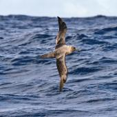 Sooty albatross. Adult in flight. Port MacDonnell pelagic,  South Australia, December 2012. Image © Dick Jenkin by Dick Jenkin  www.jenkinphotography.com.au