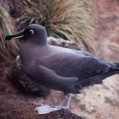 Sooty albatross. Adult. Anchorage Bay, Antipodes Island, November 1995. Image © Alan Tennyson by Alan Tennyson