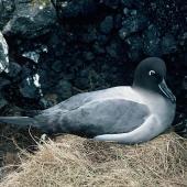 Light-mantled sooty albatross. Adult on nest. Antipodes Islands, November 1978. Image © Department of Conservation ( image ref: 10038130 ) by John Kendrick Courtesy ofDepartment of Conservation