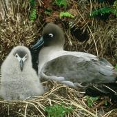 Light-mantled sooty albatross. Adult and chick on nest. Campbell Island. Image © Department of Conservation ( image ref: 10039781 ) by Graeme Taylor Courtesy of Department of Conservation