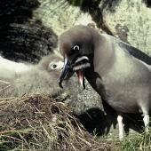 Light-mantled sooty albatross. Adult and chick on nest. Campbell Island, March 1971. Image © Department of Conservation ( image ref: 10031505 ) by Don Merton Courtesy of Department of Conservation