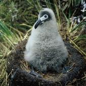 Light-mantled sooty albatross. Chick on nest . Adams Island, Auckland Islands, February 1966. Image © Department of Conservation ( image ref: 10038125 ) by John Kendrick Department of Conservation  Courtesy of Department of Conservation