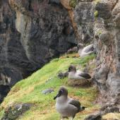 Light-mantled sooty albatross. Adults on breeding ledge. Enderby Island Auckland Islands, December 2005. Image © Department of Conservation ( image ref: 10060017 ) by Andrew Maloney Department of Conservation  Courtesy of Department of Conservation