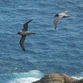Light-mantled sooty albatross. Ventral and dorsal views of two birds in courtship flight. Campbell Island, December 2011. Image © Kyle Morrison by Kyle Morrison