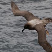 Light-mantled sooty albatross. Close dorsal view of adult in flight. Enderby Island, Auckland Islands, January 2007. Image © Ian Armitage by Ian Armitage
