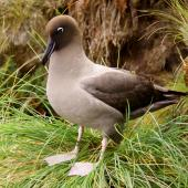 Light-mantled sooty albatross. Adult standing. Antipodes Island, April 2010. Image © Mark Fraser by Mark Fraser