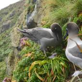 Light-mantled sooty albatross. Non-breeders courting at a potential nest site. Penguin Bay Campbell Island, January 2013. Image © Kyle Morrison by Kyle Morrison