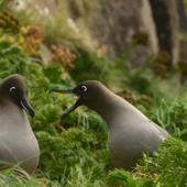 Light-mantled sooty albatross. Non-breeders courting. Penguin Bay,  Campbell Island, January 2013. Image © Kyle Morrison by Kyle Morrison