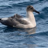 Light-mantled sooty albatross. Adult on water. At sea off Poor Knights Islands, July 2018. Image © Les Feasey by Les Feasey