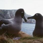 Light-mantled sooty albatross. Courting pair. Antipodes Island, October 1990. Image © Colin Miskelly by Colin Miskelly