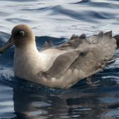 Light-mantled sooty albatross. At sea. Tutukaka Pelagic out past Poor Knights Islands, July 2018. Image © Scott Brooks (ourspot) by Scott Brooks