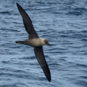 Light-mantled sooty albatross. In flight. Tutukaka Pelagic out past Poor Knights Islands, July 2018. Image © Scott Brooks (ourspot) by Scott Brooks