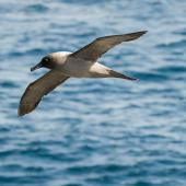 Light-mantled sooty albatross. Adult in flight showing underwings. Enderby Island, January 2010. Image © John Woods by John Woods