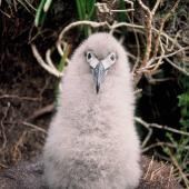 Light-mantled sooty albatross. Downy chick. Beeman Hill, Campbell Island, January 1993. Image © Alan Tennyson by Alan Tennyson